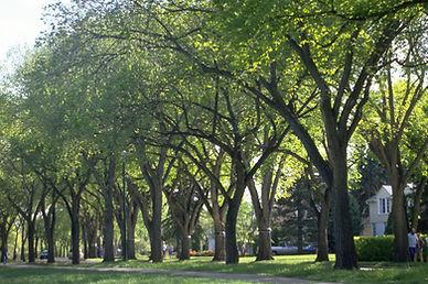 Princeton Elm 2.jpg