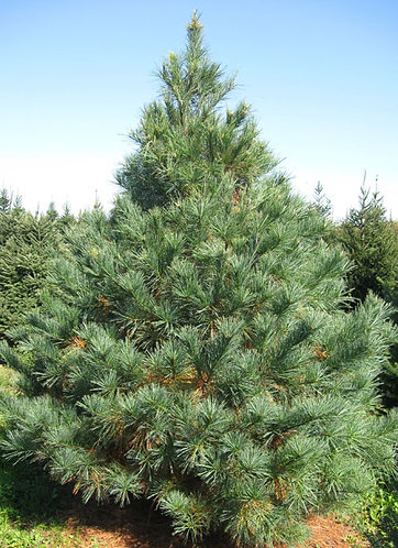 Pine, White (bundle of 25)