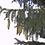 Thumbnail: Spruce, Norway (bundle of 25)