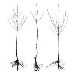 bare root.jpg