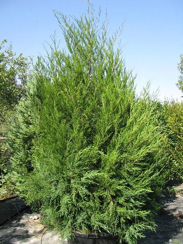Cedar, Red (bundle of 25)