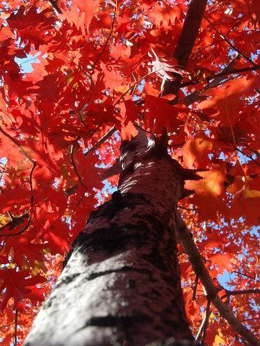 Oak, Red (bundle of 25)