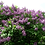Thumbnail: Lilac, Common Purple (bundle of 25)