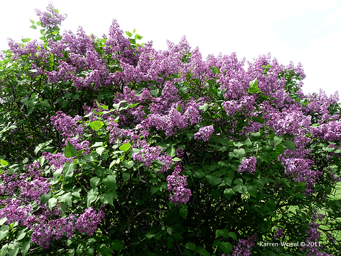 Lilac, Common Purple (bundle of 25)