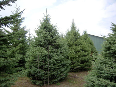 Spruce, Black Hills (bundle of 25)