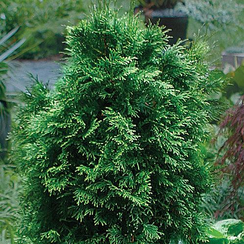 Cedar, White (bundle of 25)