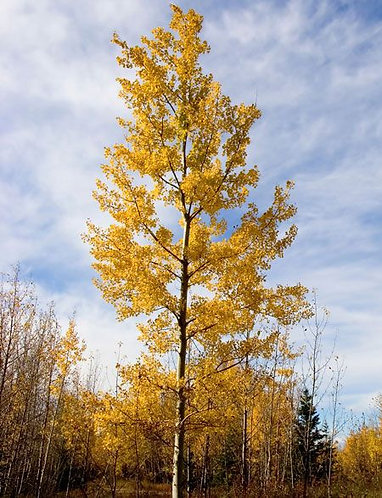 Poplar, Hybrid (stakes, bundle of 25)