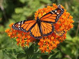 Monarch Kit