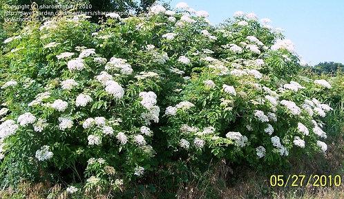 Elderberry, American Black (bundle of 25)