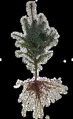 bal-fir-seedling.png