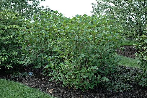 Cranberry, Highbush (bundle of 25)