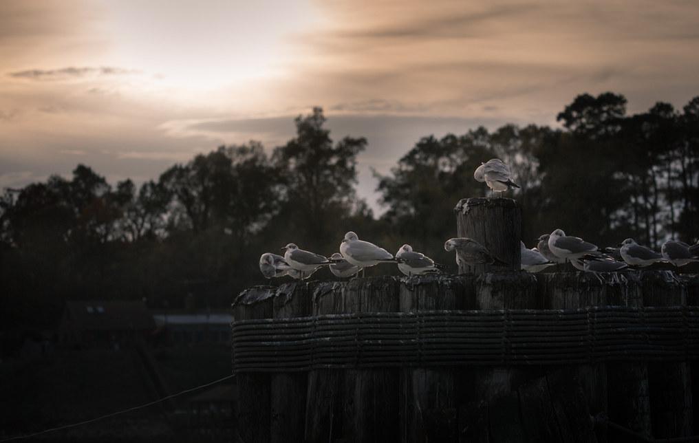 Ferry Ride Gulls