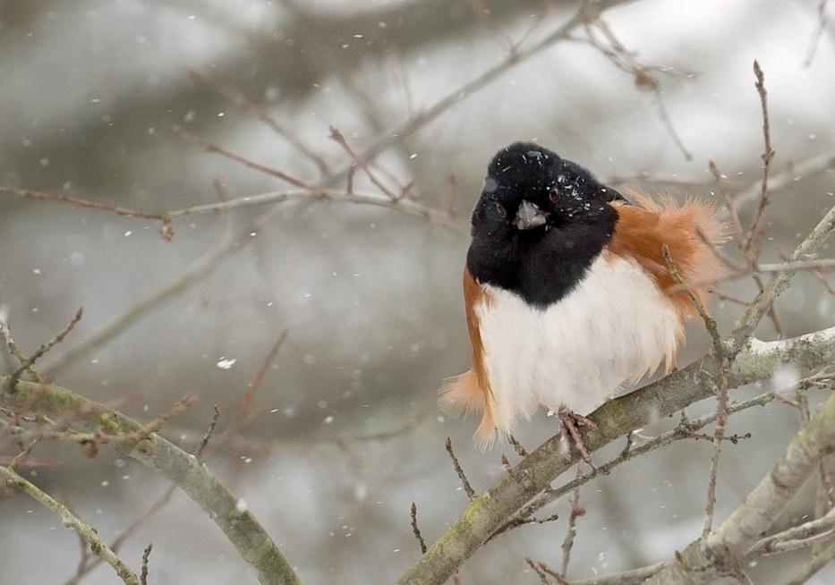 Snowy Towhee