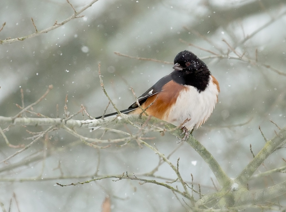 Winter Towhee