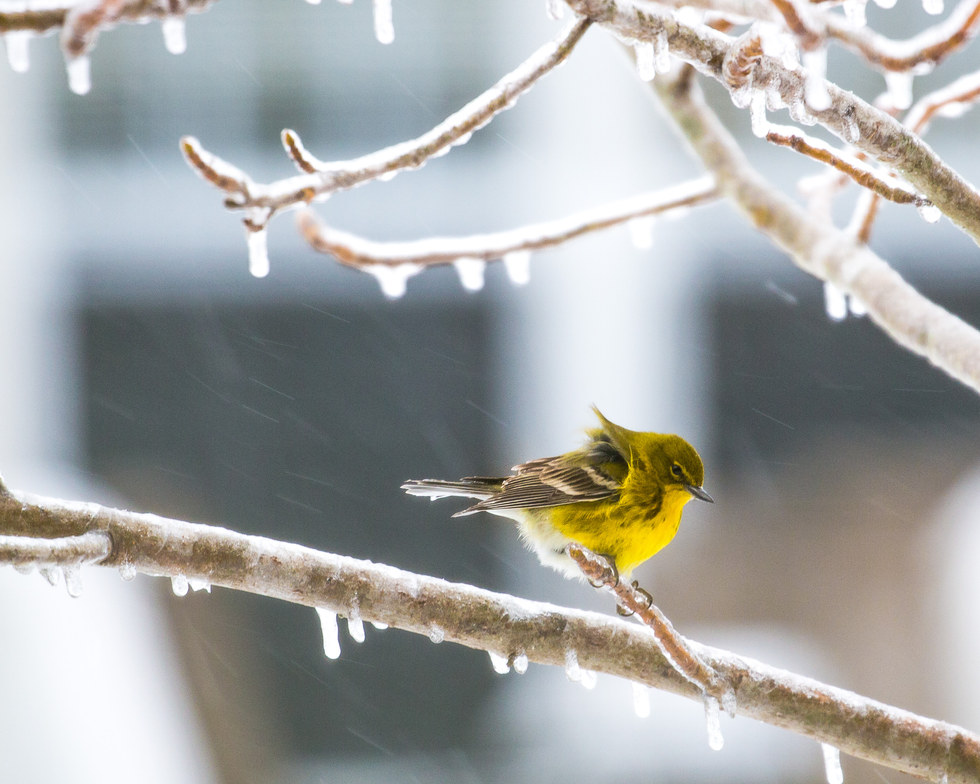 Yellow Finch Chill