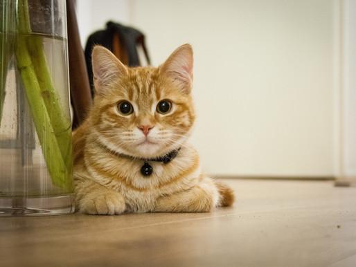 COVID-19 : un chat à été testé positif au nouveau coronavirus en Belgique
