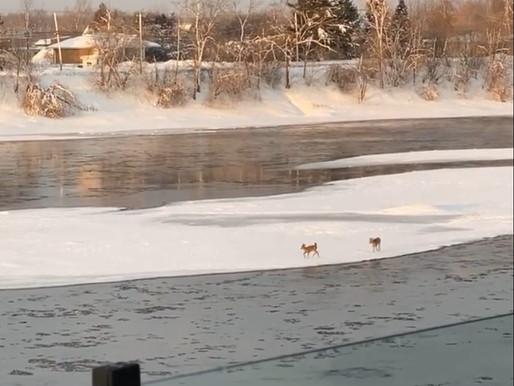 Deux cerfs de Virginie coincés sur un îlot de glace à Terrebonne
