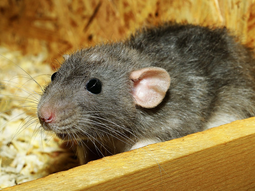 L'agressivité hormonale chez le rat