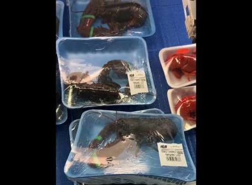 Scandale : Dans une épicerie d'Amos, des homards sont emballés vivants