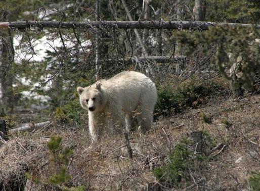 Un grizzli blanc a été repéré au Canada
