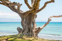 maui tree_wm