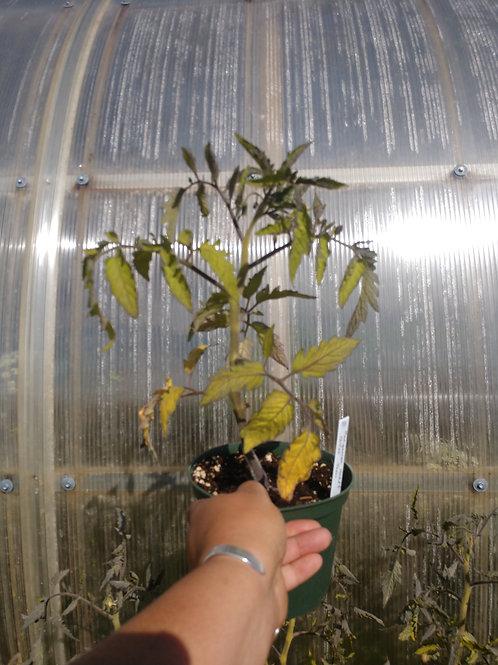 Hungarian Heart Tomato Plant