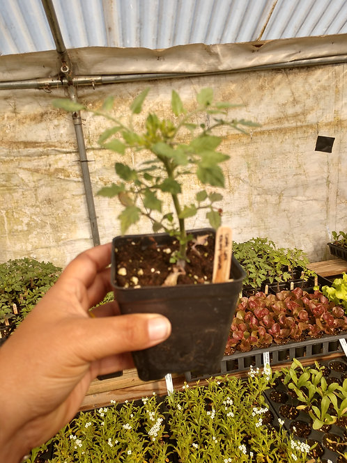 Candyland Cherry Tomato Plant