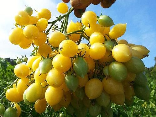 Barry's Crazy Cherry Tomato Plant