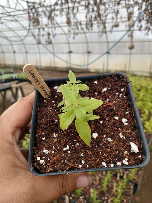 Lemon Verbena Plant