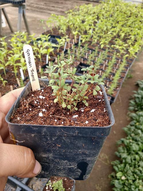German Thyme Plant