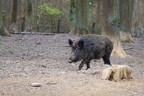Wildschwein_pixabay-min.jpg