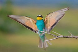 the rise of bee-eaters