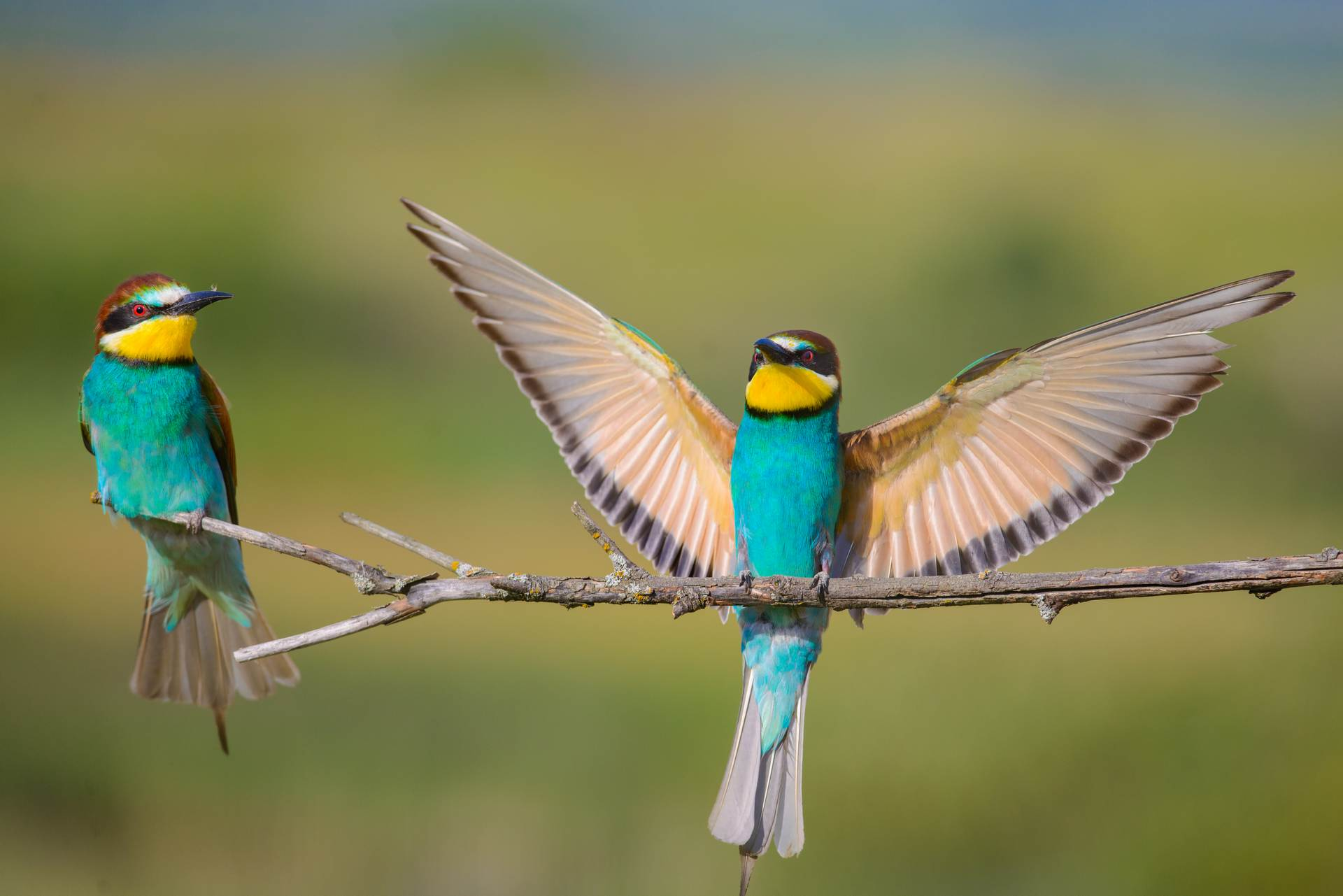 dispute bee-eaters