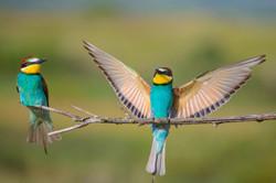 dispute bee-eaters