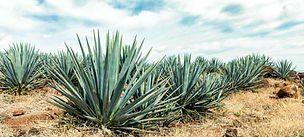 agave-in-tequila-picture-id1270198941-強化.jpg