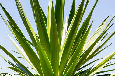 close-up-of-an-agave-with-blue-sky-picture-id517019361.jpeg
