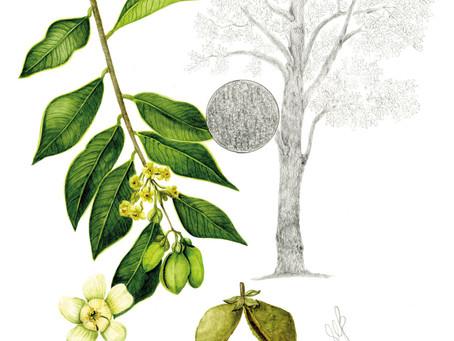 趣談香港樹