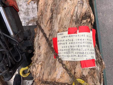 白千層的樹幹