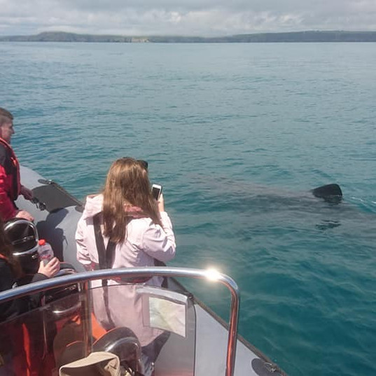 Basking Shark, off Flat Head