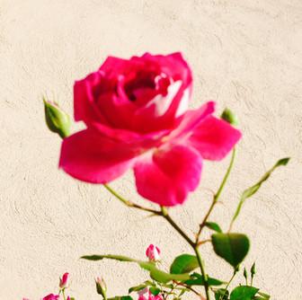 Blossomed Rose