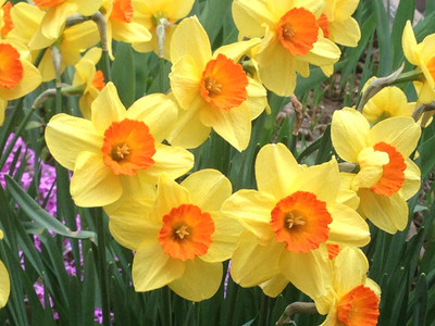 Dafodils Watching