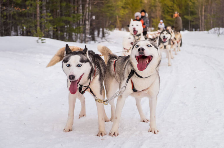 Siberian-huskies-spending-time-outdoor-d