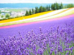 flower-fields-hokkaido.jpg