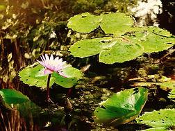 Jaguar Amazon Tours Manaus Brazil Adventure Tour Water Lillies