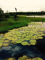 Jaguar Amazon Tours Manaus Brazil Adventure Giant Water Lillies