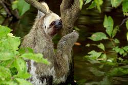 SlothCloseUp