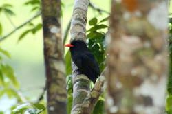 Small BlackBird