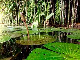 Jaguar Amazon Tours Manaus Brazil Adventure Tour Young Water Lily Flower
