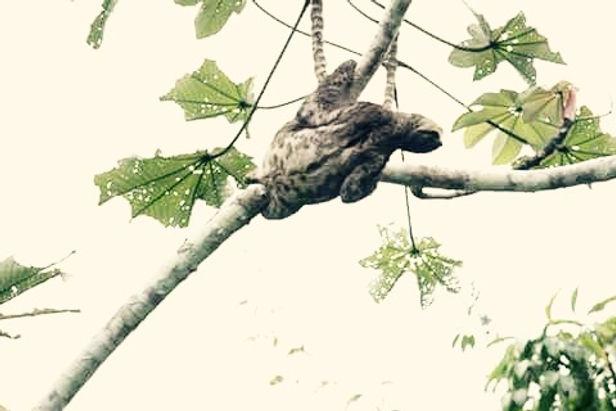 Jaguar Amazon Tours Manaus Brazil River Cruise Sloth on Embauba Tree