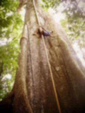 Jaguar Amazon Tours Manaus Brazil Josuel Crosa Climbing The Samauma Tree